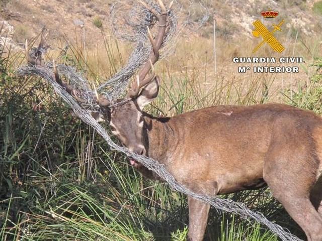 Liberado un ejemplar de ciervo macho atrapado en un vallado cinegético en Casas de Lázaro