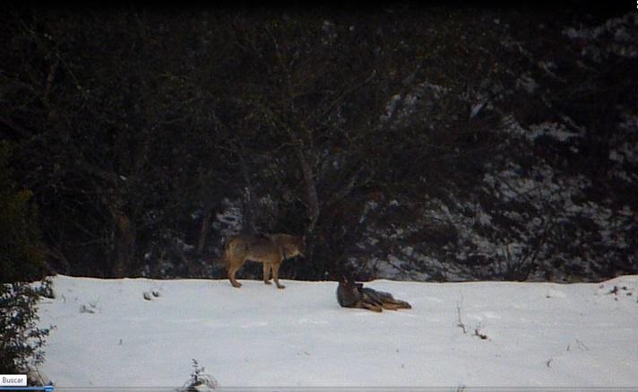 La Consejera de Agroganadería de Asturias conocía la trama del lobo