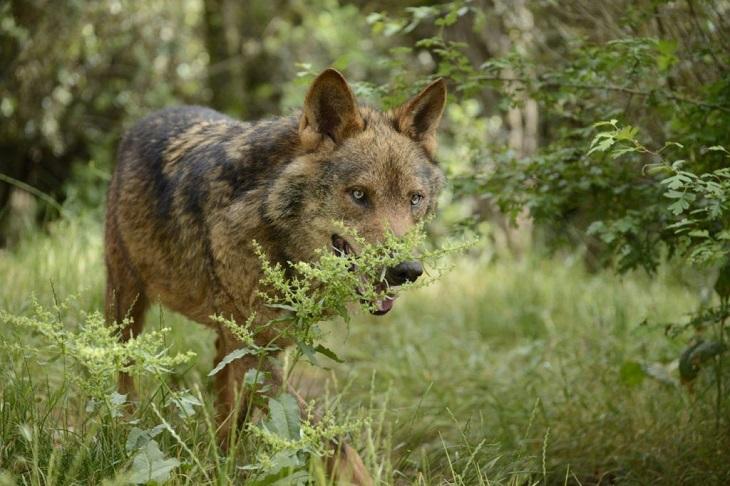 Cazadores fuera de la ley abaten lobos en el Parque Nacional Picos de Europa