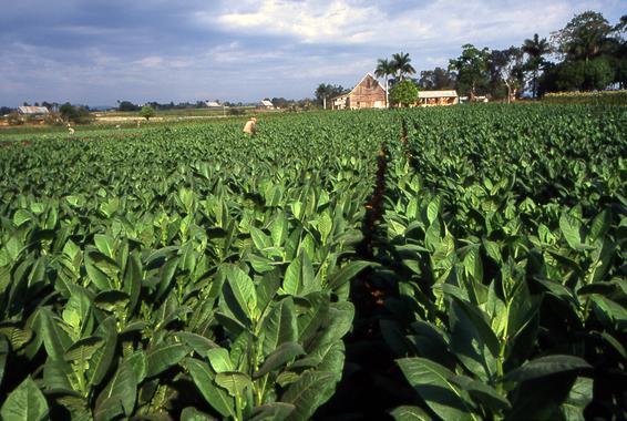 Tabaco modificado genéticamente para producir bioetanol