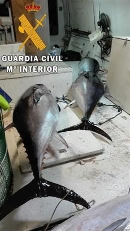 Intervenidos en el puerto de Roquetas 28 atunes rojos pescados de forma ilegal