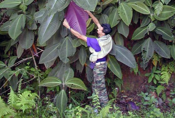 El árbol sudamericano 'miconia' inmune al cambio climático