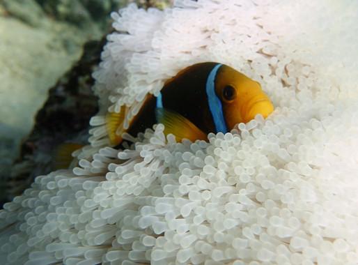 Buscar a 'Nemo' será cada vez más difícil en océanos calientes