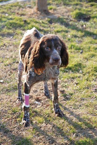 Se busca familia a 'Puzzle', una perra ciega por disparos de un cazador