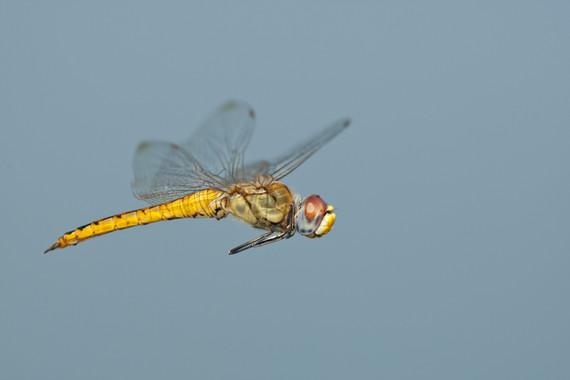 La libélula 'trotamundos' bate todos los records de vuelo