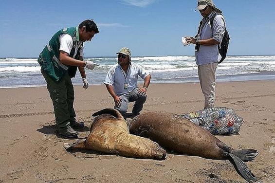 Perú. Pescadores asesinan salvajemente a tres lobos marinos