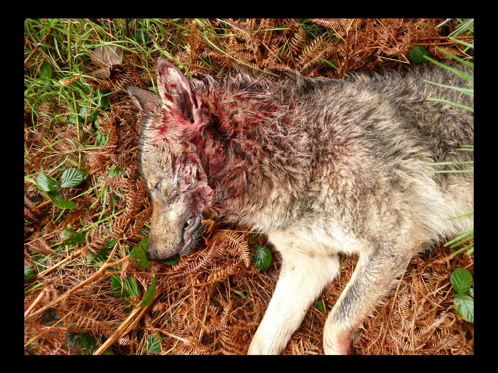 Otro lobo radiomarcado es abatido en el Parque Nacional de Picos