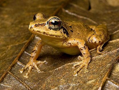 Varias sustancias de la piel de las ranas servirían de base a nuevos antibióticos