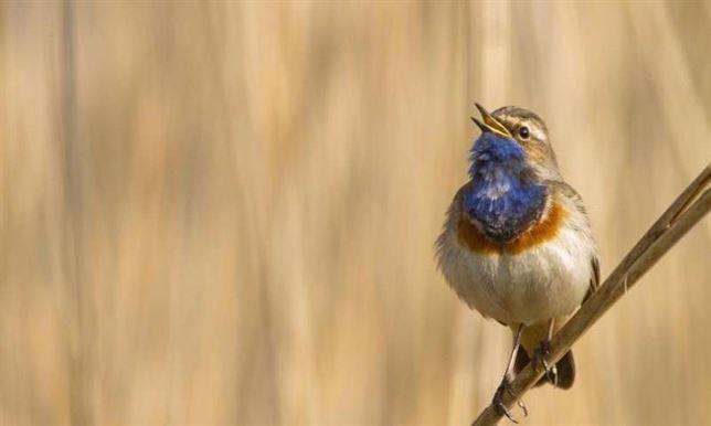 Mecanismos físicos muy similares entre aves y humanos para producir sonidos