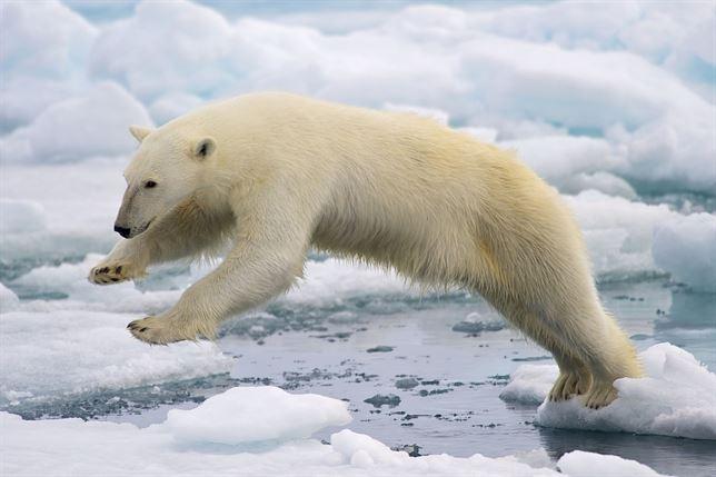 Los osos polares 'sentenciados' por el calentamiento global