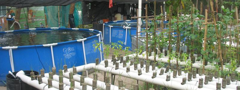 Crean sistema para cultivar peces y plantas en tu hogar