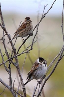 Los cambios en el medio agrícola y la desecación de humedales entre las causas del declive de siete especies de aves