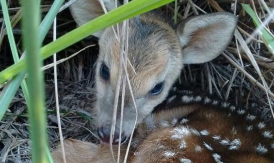 Argentina: Nació un venado pardo en el Parque El Puma