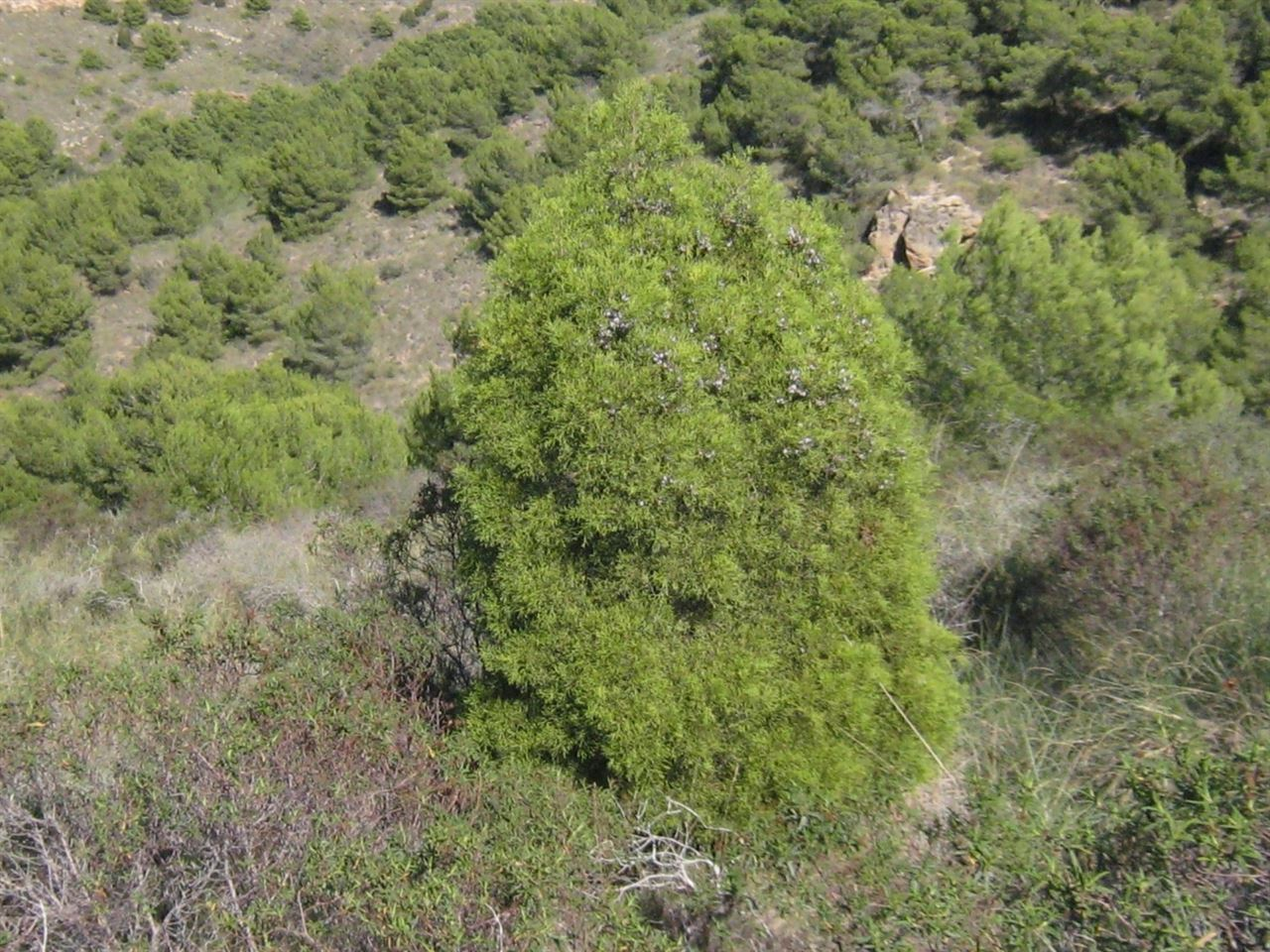 Proyecto LIFE europeo para conservar los bosques de ciprés de Cartagena