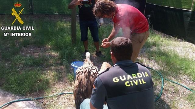 La Guardia Civil auxilia en una pedanía de Chulilla a un buitre leonado que no podía volar