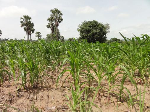 Los cultivos actuales del África subsahariana no podrán afrontar el aumento de la población