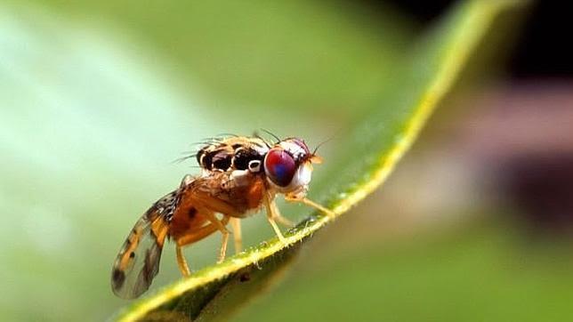 Alerta, quieren liberar en España una mosca modificada genéticamente