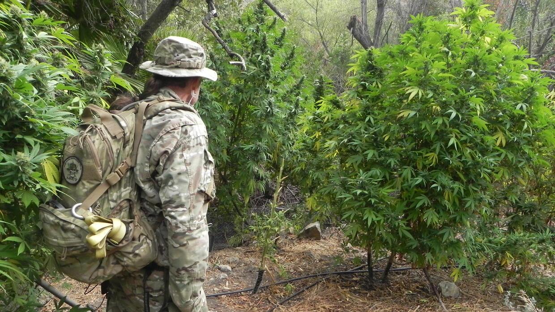 Cómo la marihuana de los narcos está poniendo en peligro a los bosques de California