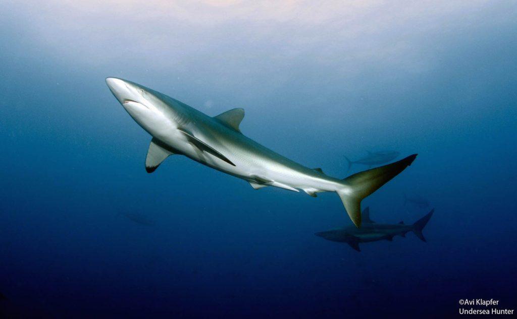 Conflicto por comercio de tiburones sube de tono