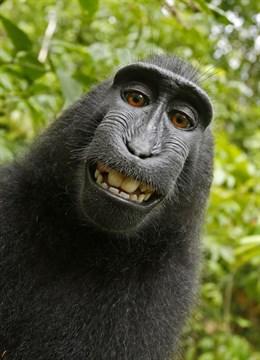 El autor legal del 'selfi del mono' donará el 25% de sus beneficios a la protección de los macacos de Indonesia