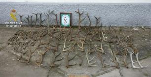 Intervenidas más de cien cuernas de ciervo a la venta en Las Navas (Sevilla)