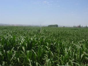 Los tres maíces transgénicos que se querían autorizar para Europa de momento quedan 'bloqueados'