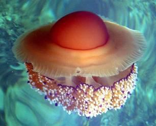 El baño en el Mediterráneo amenazado por el crecimiento de medusas huevo frito y otras especies