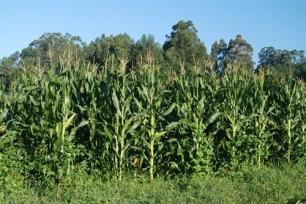 Los residuos del maíz contienen cantidades de azúcar para producir energía alternativa