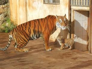 Nace el primer tigre de bengala en Santander desde el año 2000
