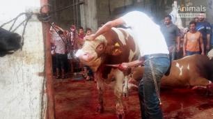 Brutal VIDEO muestra el tratamiento del ganado exportado a Oriente Medio