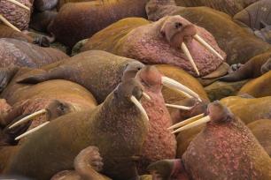 El Ártico presisa urgentemente siete reservas marinas y pasar a ser Patrimonio Mundial