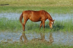 La yegua marismeña y la conservación de Doñana