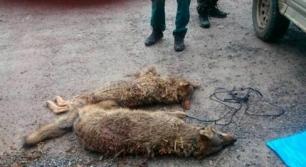 Asturias 'asesina' lobos injustificadamente