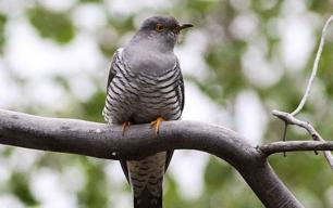 Las aves migratorias 'planifican' sus viajes en función de los recursos alimenticios
