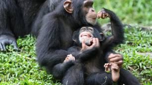 Un chimpancé juega a hacer el avión con su pequeña cría