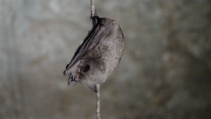 España puede y debe adherirse al Convenio Europeo de Conservación de Murciélagos