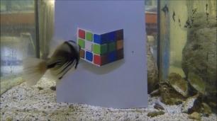 Los peces pueden ser engañados con ilusiones visuales