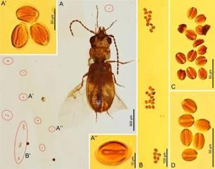 Lo escarabajos ya polinizaban en el Jurásico temprano antes que las abejas