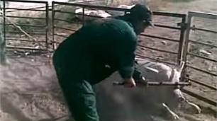 Maltrato cruel a cerdos en una granja murciana (Ver VIDEO)