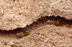 Estudian a las hormigas para eliminar los atascos de tráfico