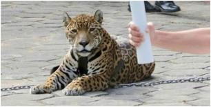 Río 2016: Jaguar muerto a tiros al paso de la llama olímpica