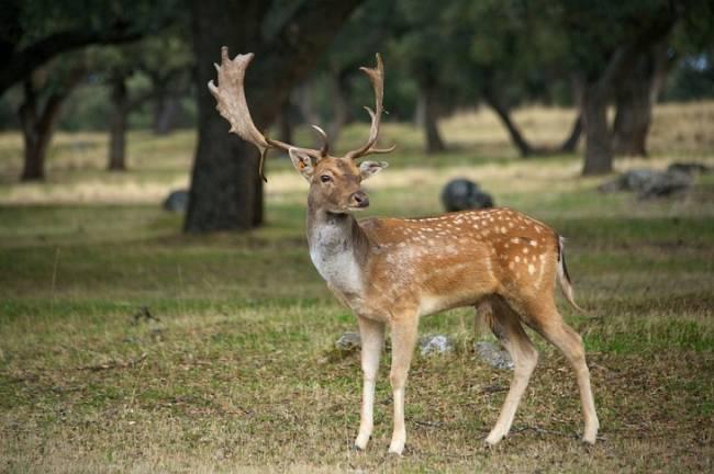 Según Castilla – La Mancha hay que abatir a balazos más ciervos y gamos para controlar los daños en la agricultura