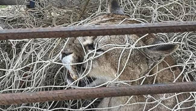 Buenos Aires: Rescatan a un puma que estaba en un árbol en la localidad de Maipú