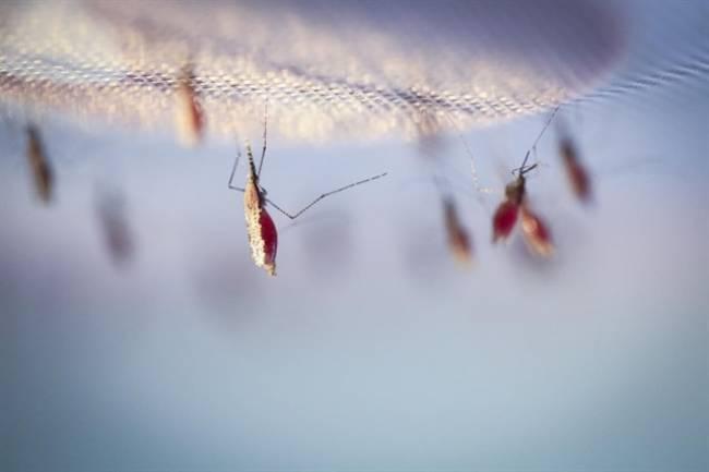 Crean una molécula que es capaz de matar a uno de los parásitos de la malaria