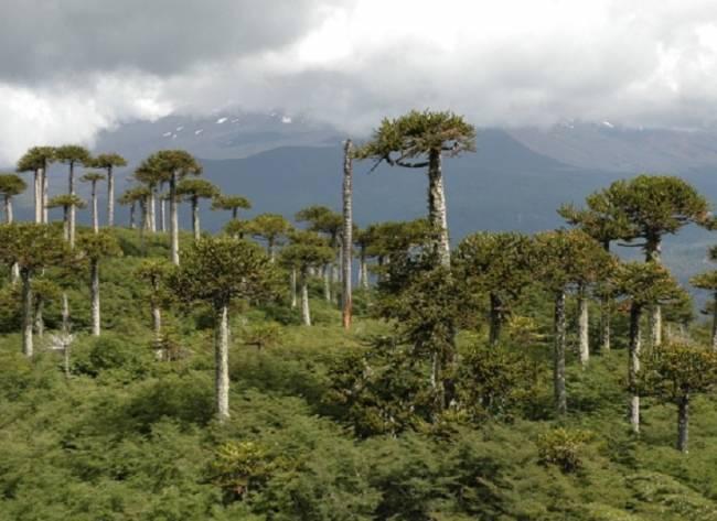 Los bosques sudamericanos de araucaria fueron obra ancestral humana