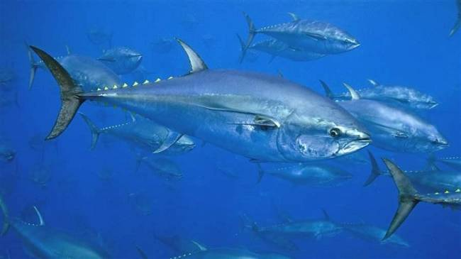 Acorralan a los delincuentes que realizan pesca ilegal del atún rojo