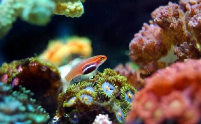 Aplican inteligencia artificial para el reconocimiento y clasificación de corales marinos