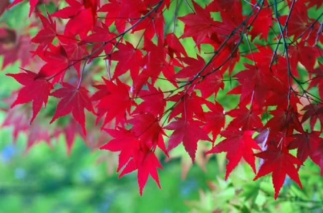 El extracto de las hojas de árbol de arce puede prevenir las arrugas de la piel