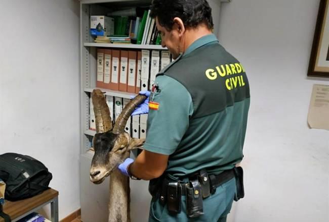 Pillados dos delincuentes por caza furtiva de un macho de cabra montés