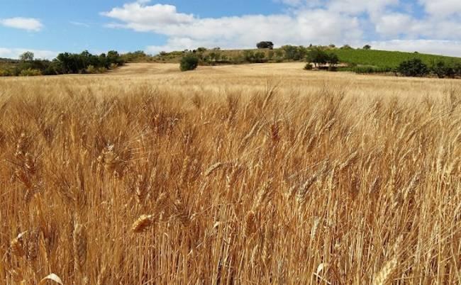 El cambio climático supone 1.500 millones de euros de pérdidas en cereales